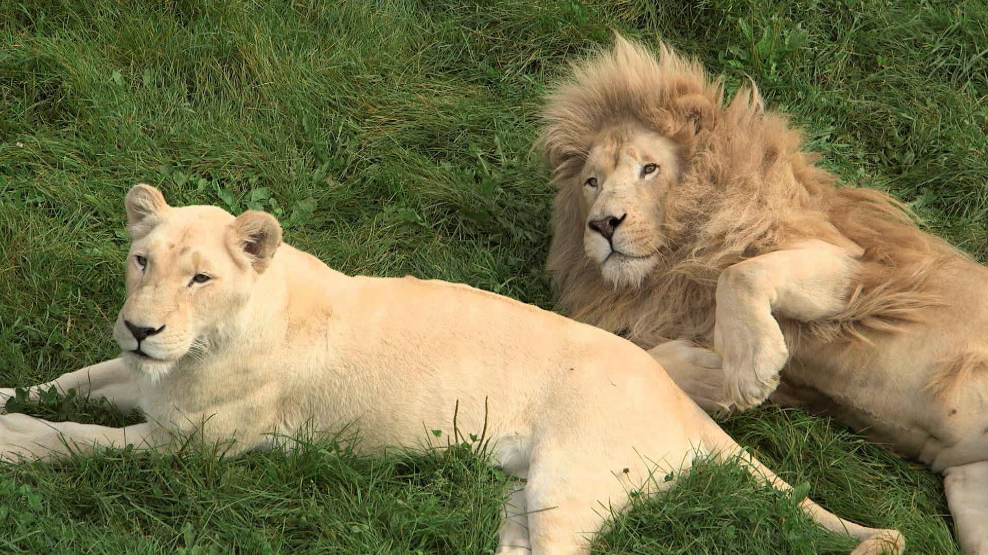 le lion blanc 100 animal zone vid o t l qu bec. Black Bedroom Furniture Sets. Home Design Ideas