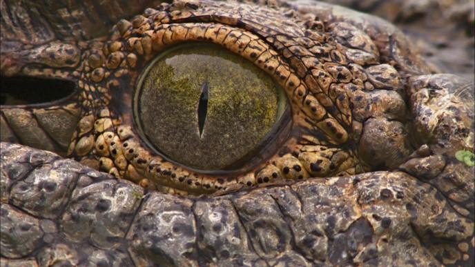 Hippopotame contre crocodile : qui remportera la victoire?