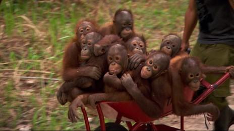 Jeunes orangs-outans