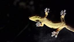 L'Homme s'inspire des pattes du gecko pour imiter Spiderman