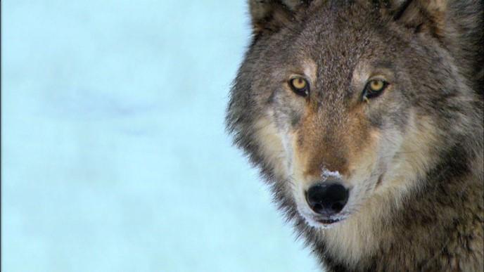 Comment une louve de Yellowstone est entrée dans la légende…
