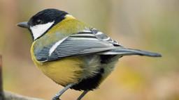 La vie d'une espèce d'oiseaux commune serait plus courte en ville qu'à la campagne.