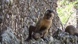 Des singes capucins créent des éclats de pierre semblables à ceux des premiers humains.