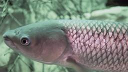 Comment fait-on pour savoir s'il y a une espèce invasive, comme la carpe asiatique, dans un cours d'eau?