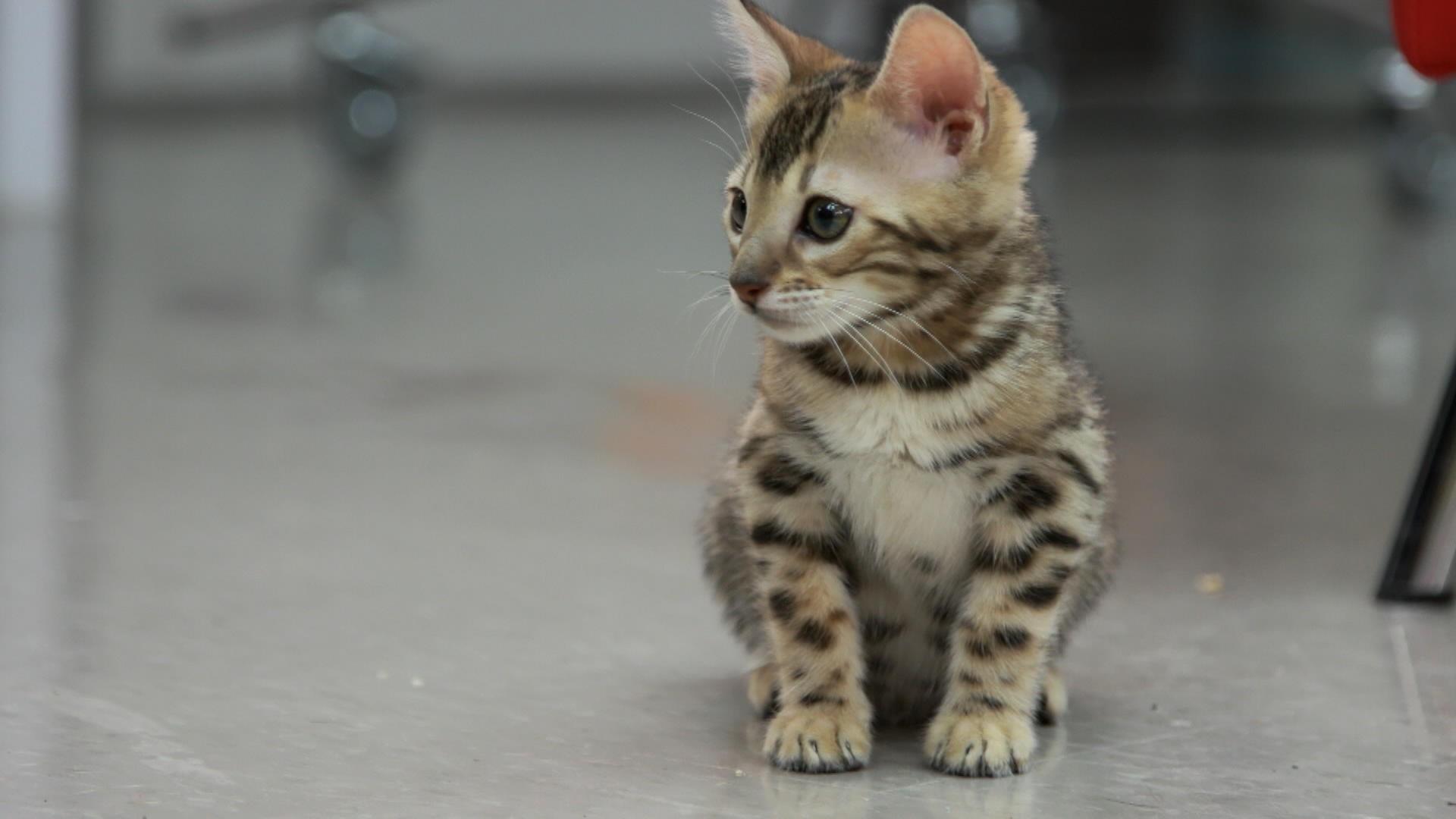 Le chat de bengal 100 animal zone vid o t l qu bec - Chat du bengal gratuit ...