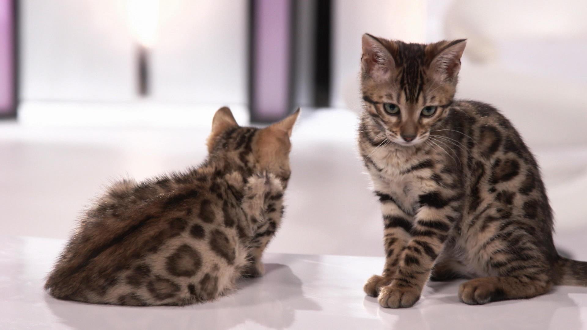 le chat de bengal 100 animal zone vid o t l qu bec. Black Bedroom Furniture Sets. Home Design Ideas