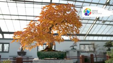 Quel est l'âge maximal d'un bonsaï?