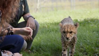 Bébés guépards