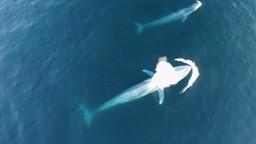 Observer les baleines avec des drones
