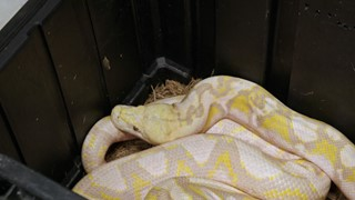 Pauvre python