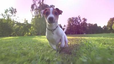 Le coût d'un chien de race durant toute une vie